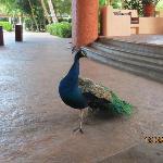 peacock near lobby