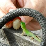 Gecko baby gets a 'Lick' of the bean's outside membrane, which is sweet.