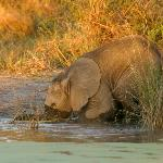 Baby elephants do not know how to drink through trunk, takes time to learn