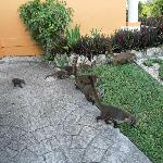 Family of coati in the grounds