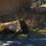 This is the resident elk who visited us daily.