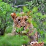 ung løve.