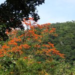 African Tulip Tree on estate