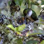 hummingbird and young
