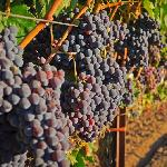 Winegrapes growing before harvest in Lodi, CA