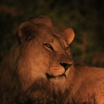 The Lion sleeps tonight - Shot at Vuyani