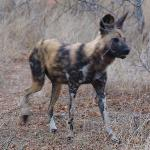 Painted Dog