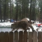 One of our Raccoon neighbors