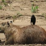 Capybara with friend