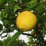 Solche Zitronen wachsen hier