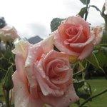 ..die vielen gepflegten Rosen