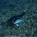 Manta Ray on our Manta Dive