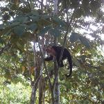 White-Throated Capuchin hanging around the resort