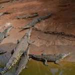 куча крокодилов