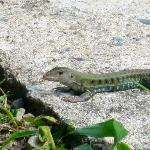 Local lagarta (lizard) wildlife!