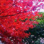 Red tree in Sheraton Miyako garden