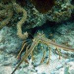 Spider lobster