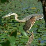 Two kinds of heron seen a mile from Birdsong on a rails to trails nature walk, great for bikes t