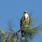 Persistant  Osprey