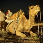 at the night camel safari