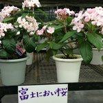 河口湖ハーブ館 | 富士のにおい桜