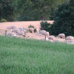 Sheep of the house owner