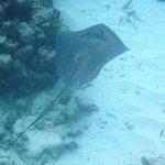 Stingray swims away from me