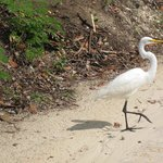 Egret prancing in front of my golf cart