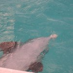 Jo Jo loves to swim out from beneath the boat on his back!