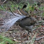 Superb Lyrebird display