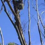 Koala in our garden