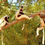 Sifakas at Lemur Park