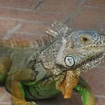 The iguana female