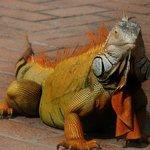 The big male iguana onsite
