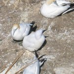 gannet chick and mum