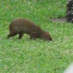 Local rat wandering the grounds