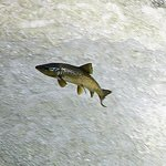 Salmon heading upstream