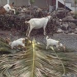 Goats visit daily!