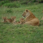 lion cubs in Maasi Mara park