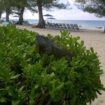 A friendly iguana poses at the beach