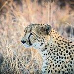 Elegetn Cheetah
