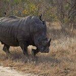 Rampaging rhino!