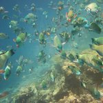 Huge school of parrot fish