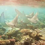 Family of eagle rays