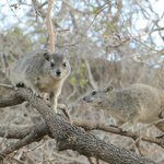 Hyrax around camp