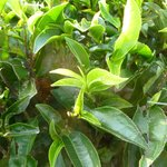 the crucial leaves of quality tea