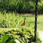 Tiger Heron walking around the pool