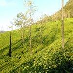 Tea plantation in the evening light
