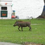 Warthog running between the dining are and river