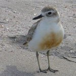 our local Dotterel